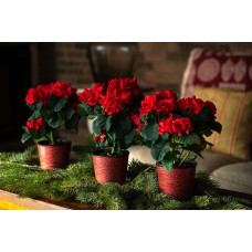 Winter Plant and Flower Sale - Winter Roses Trio